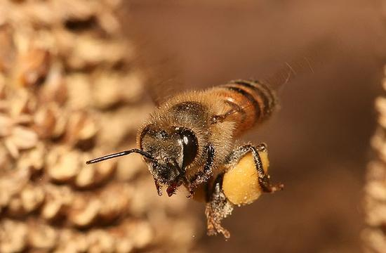 A North Carolina honey bee.