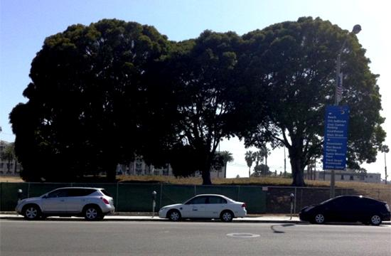 "Trio of intertwined ficus rubinginosa trees affectionately known as ""The Three Amigos"" on Main Street across from City Hall at the site where the future Palisades Park will be located in Santa Monica."