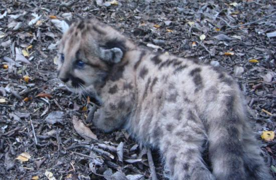 The mountain lion kitten in early June 2010 that was struck and killed this week.