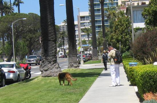 A dog owner ignores the leash law on the 700 block of Ocean Avenue.