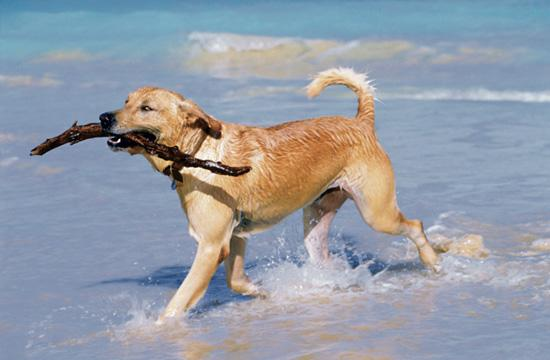 Dog frolicking on the beach.
