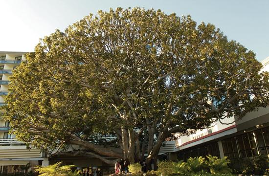"""About 15 people gathered around the Moreton Bay Fig Tree in the courtyard of the Fairmont Miramar Hotel on Monday as part of """"Tree Hugging Day."""""""