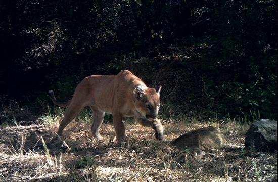 A meeting will be held this Monday as part of an official investigation into the death of a mountain lion in Santa Monica and to develop a protocol on the chance that this could happen again.