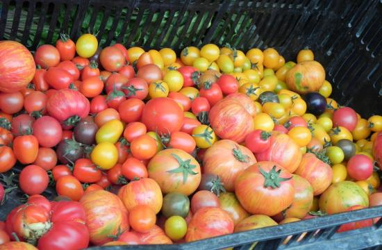 There are more than 600 varieties of heirloom tomatoes. Many are available at the Santa Monica Farmers Markets.