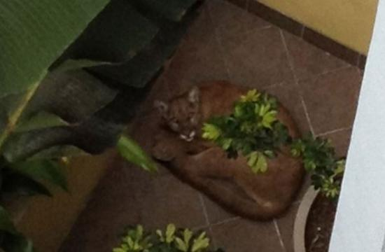 The mountain lion that was shot and killed in Santa Monica on May 22