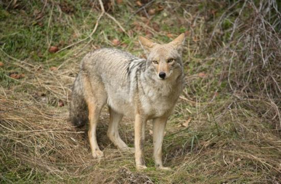 The Santa Monica Police Department has released a bulletin regarding preventative measures for coyote sightings.