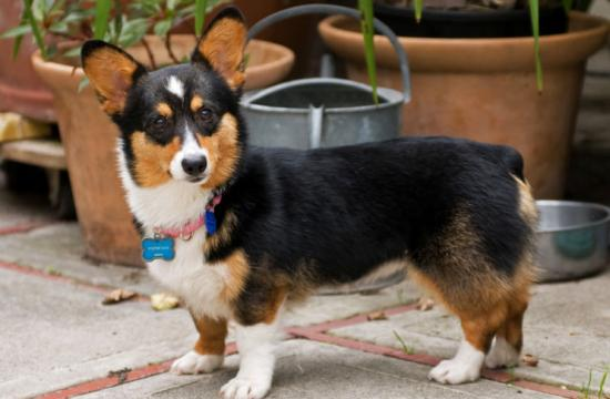 This Welsh corgi named Tegan ran from a car accident at Lincoln and Washington on Dec. 30 and the owners are desperately trying to locate her.