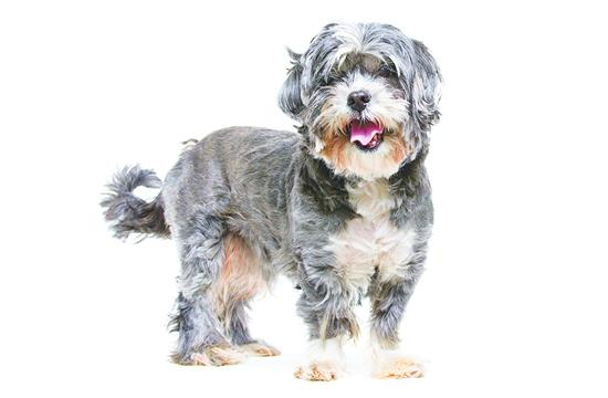 Rex is from NKLA Coalition partner Best Friends Animal Society Los Angeles. Rex is a black and silver Shih Tzu mix who is about six years old.