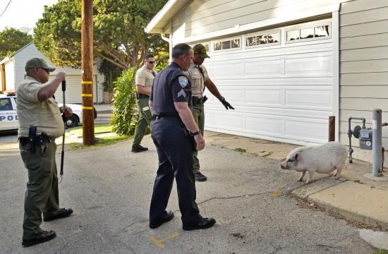 A pig the size of a medium sized dog put up a challenge as Santa Monica Police Department Park Rangers and Downtown Service Officers tried to capture it on Wednesday afternoon.
