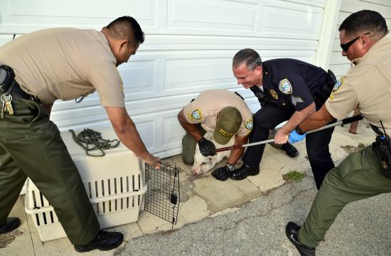 The pig was eventually cornered against a garage and safely placed inside a cage.