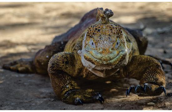 """Galapagos Land Iguana"" photographed by J.J. L.Heureux."