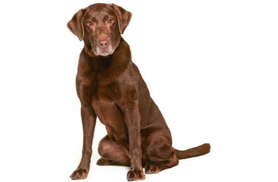 Scout is a five-year-old purebred chocolate Labrador Retriever.