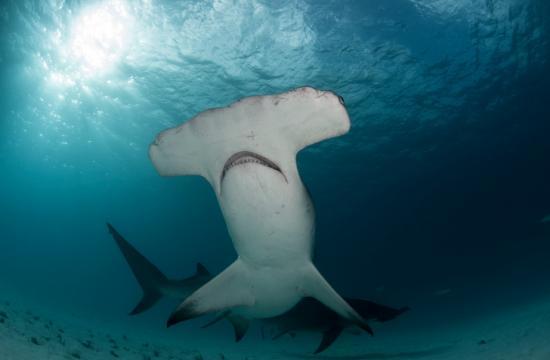 A hammerhead shark.