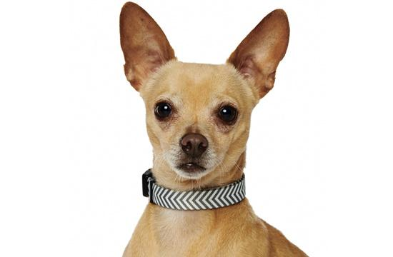 TOPPER: Meet Topper! Topper is a three-year-old Chihuahua mix who would love to be your best friend. Topper's favorite activity is to go for walks