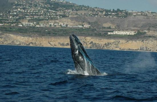 The Humpback Whale stuck in netting off the coast.