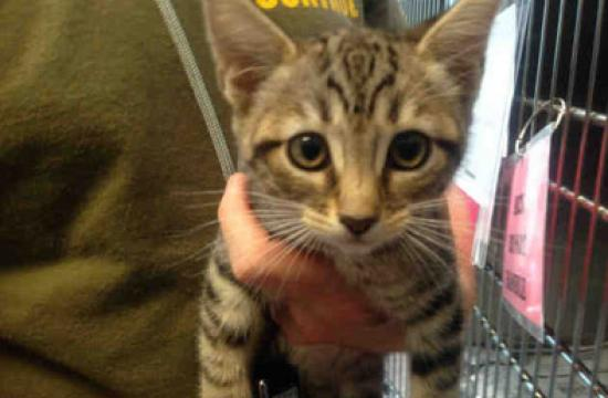 One of the kittens up for adoption at Santa Monica Animal Shelter.