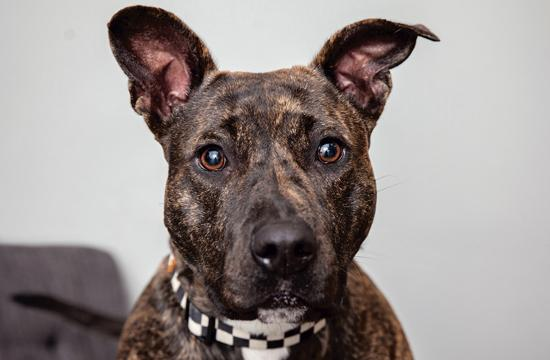 Whitney Huston is an energetic and active one-year-old American Staffordshire Terrier mix who is a joy!