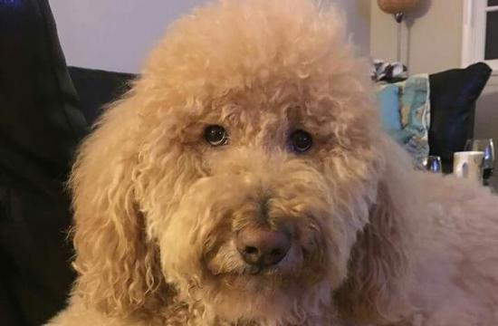 Have you seen Kramer? The six-year-old Goldendoodle went missing in Venice and has been reported being seen in Santa Monica.
