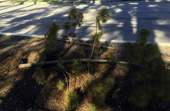 Residents on Dewey Street reported toppled over pine trees next to Penmar Golf Course.