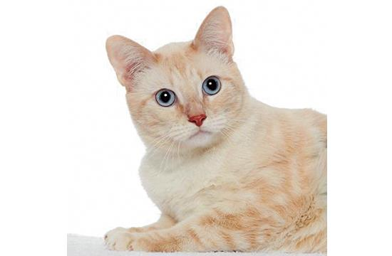 George: Meet George! George is a 2-year-old tabby with a distinct cream and white coloring and exquisite blue eyes. He loves to play with toys, people and other cats. If you are looking to bring home a friend for your own cat, adopt George! He is the life of the party.