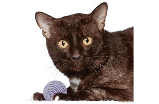 PUMA: Meet Puma! He's a handsome and curious senior cat at 8 years old, but don't let his age fool you! He is playful and treat motivated; he sits for treats and loves to seek them out. Adopt Puma and enjoy the compnay of this fun-loving feline friend!