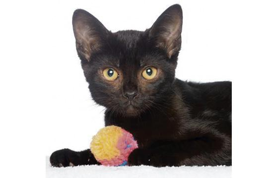 ALANA: Sheek and adorable, Alana is 4 months old and one of many amazing kittens available to adopt today at our NKLA Pet Adoption Center for $10. When you adopt one kitten, you can get a second one for free!