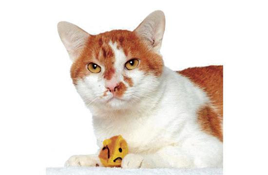 Cheddar is a whole lotta love in one cat, relaxed and ready to party! He is very social, friendly, and confidant and enjoys the company of other cats, too. Cheddar is very sweet and mellow, too. Just an all-round rock-star cat! Adopt him for $20 through October 23!